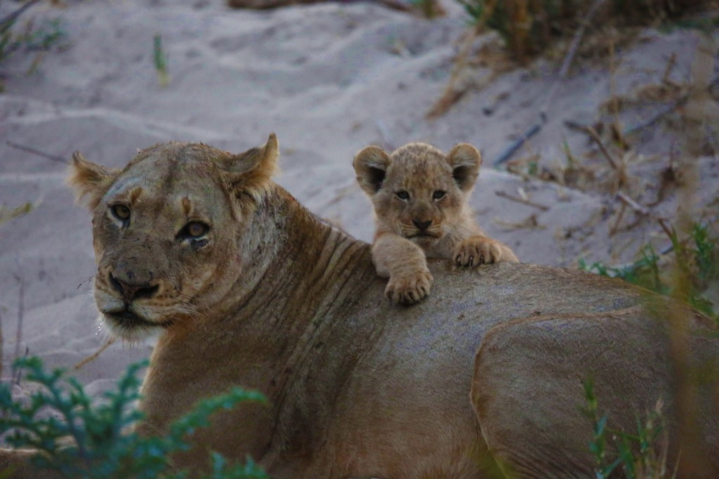 lioness-with-cub